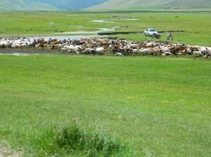 Sheep shearing Photo: James Robb